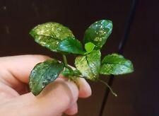 RARE ANUBIAS NANA PINTO WHITE RHIZOME - LIVE AQUATIC PLANT FOR AQUARIUM