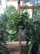 Devils Ivy Hanging Basket Indoor Plant Pothos