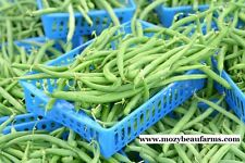 1,400 Blue Lake Bush Bean Seed. Plus Free Gift, Combo Ship, Heirloom. #1LB