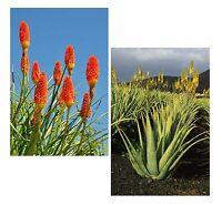 Samen-Spar-Set: die orange-gelbe Fackel-Lilie und die immergrüne Kap-Aloe !