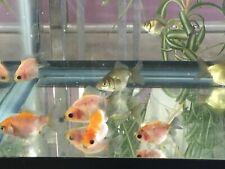 """THAI ORCHID TAIL ORANDA GOLDFISH Mix Color 1.5"""" to 2""""  For Aquarium or Pond."""