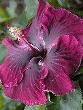 50 Black Dragon Cajun Hibiscus Flower Seeds Garden & Home Perennial Flower
