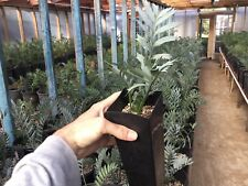 Encephalartos horridus Well Started Seedlings Rare Cycad Botanic Wonders Nursery