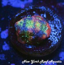 New York Reef Aquatic - 0916 F3 Jf Dayglo Wysiwyg Live Coral