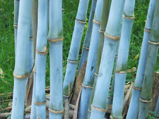 100+ Fresh Blue Bamboo Seeds  with instructions