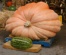 pumpkin, dills, DILL'S ATLANTIC GIANT, worlds largest record, 5 seeds! GroCo#