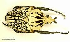 Goliathus orientalis pustulatus male, Extremly Rare, reduced pronotum color 78mm