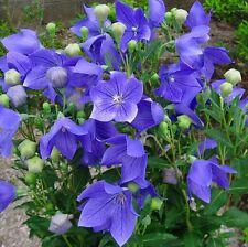 40+ BALLOON,  PLATYCODON  MARIESII - BLUE/ PERENNIAL / DISEASE FREE FLOWER SEEDS