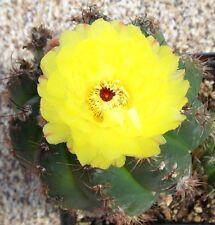 Notocactus Securi Tuberculatus rare Parodia oxycostata flowering cactus 25 SEEDS