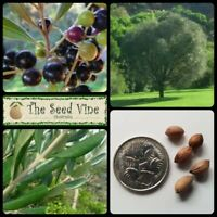 10 WILD AFRICAN OLIVE TREE SEEDS (Olea europaea) Edible Evergreen Fruit Hardy