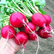 RADISH Cherry Belle 50+ Seeds HEIRLOOM vegetable garden AUTUMN WINTER SPRING veg