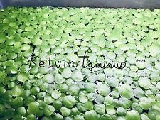 9+ extra small Amazon frogbit Live aquarium/Aquatic/Floating plant
