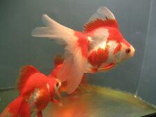 BUYGOLDFISHONLINE.COM Live Red and White Ryukin  Goldfish (L) for aquarium/pond