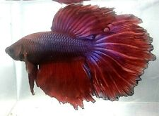 New listing Betta Red with Blue Lace Star Tail Halfmoon Hm Juvenile Male Premium Quality A53