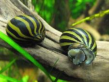 5 Zebra Nerite Snails Live Freshwater Aquarium Snail