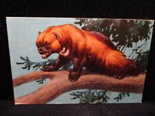 Wolverine 1958 National Wildlife Federation W A Weber Painting Animal Postcard