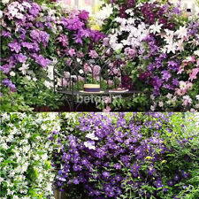 New 50 pc Multicolor Beautiful Clematis Flower Clematis Climbing Plants Seeds FR