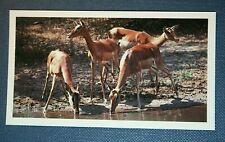 IMPALA   Colour Photo-card   Unmounted