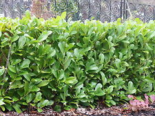 50 Cherry Laurel 2-3ft Multi-Stemmed Prunus Rotundifolia, Evergreen Hedging