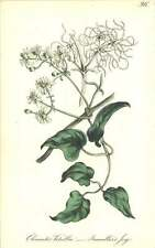 1863 viaggiatori JOY ~ Clematis perenne Botanico Stampa