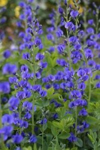 BAPTISIA AUSTRALIS 'CASPIAN BLUE'-10  SEEDS Hardy Perennial