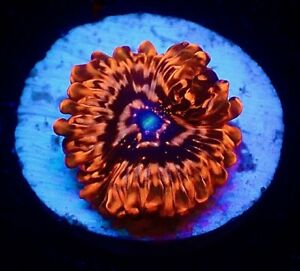 UTTER CHAOS ZOANTHID FRAG SINGLE POLYP/SOFTCORAL/MARINE