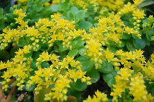 Lesser Mexican Stonecrop-Sedum confusum 10 succulent plant cuttings