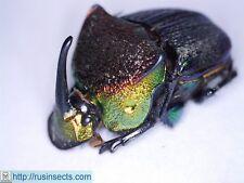 Scarabaeidae, Scarabaeinae|Phanaeus vindex USA (New Jersey) male