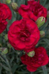 Dianthus Scent First Passion  9cm organic pots 💋'