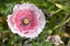 1000 PINK & WHITE POPPY Flower Seeds *Comb S/H + Free Gift
