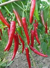 Kashmiri RED CHILLI / PEPPER Seeds (20 Seeds)  X-058