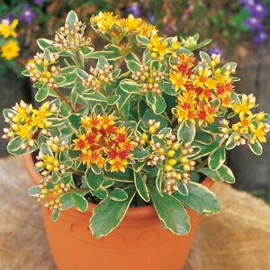 Sedum 'Variegatum' 9cm Plant x 2. Variegated succulent.