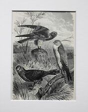 Harriers Birds of Prey - Antique Victorian B/W Print, Wood Engraving, Mounted