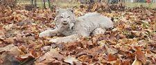 Taxidermy mount lynx bobcat laying mount