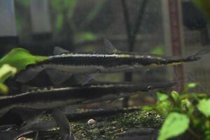 "Live Lima Shovelnose Catfish (6"" Freshwater Aquarium Fish) *PLS READ DESCR*"