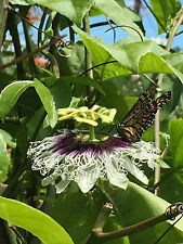 20 Yellow Passion Fruit Seeds From Hawaii (Passiflora edulis f. flavicarpa)