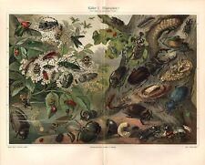 Europäische  KÄFER Nashornkäfer Alpenbock Pillendreher  Lithographie um 1900