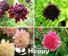 Pincushion Flower Sweet Scabious DOUBLE - 200 SEEDS - Scabiosa atropurpurea