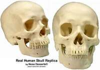 Exact Replica Human Skull: Anatomy Cadaver Skull 1:1 Life Size: Direct From USA