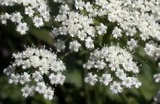 anise, LICORICE PLANT SEEDS, 135 seeds! GroCo