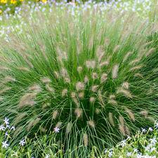 More details for pennisetumalopecuroides 'hameln gold'   ornamental grass   15-30cm (incl. pot)