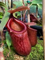 Nepenthes ventricosa x sibuyanensis, Jungle Bells, Male, Rooted Cutting