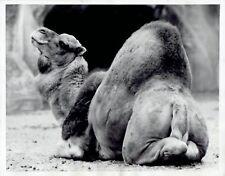1959 Vintage Photo Camel Animal & its humps at Vincennes Zoo Park Paris France