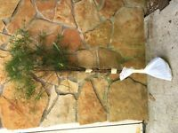 APPALACHIAN MOUNTAIN GROWN SHIPS FREE !WHITE PINE 3FOOT SEEDLING REF. ##STK