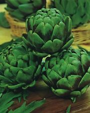 Vegetable - Artichoke - Green Globe - 60 Seeds