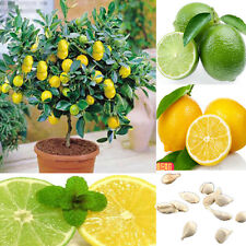 10Pcs Rare Lemon Tree Fruit Plants Seeds Home Garden Indoor Outdoor Available