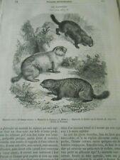 Les Marmottes Noire Pologne Québec Canada Gravure Old Print 1860