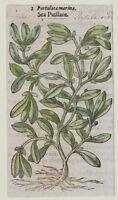 JOHN GERARD BOTANICA MATTHIOLI 1597 PORTULACA MARINA PIANTE MARINE ORIGINALE
