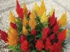CELOSIA LILLIPUT COLOUR MIX SEEDS FLOWER GARDEN PATIO FLOWER 300 SEED PACK