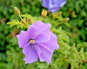 EDIBLE NATIVE PURPLE HIBISCUS, HUEGLII,SEEDS,LILAC,FLOWERS,BUSH TUCKER